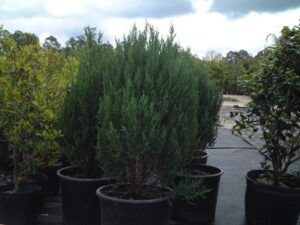 Blue Point Juniper in 7 gallon nursery Pots