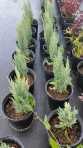 moonglow juniper Nursery Crop in 3 gallon pots