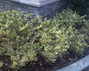 Ligustrum jack Frost shrubs used as a low growing hedge