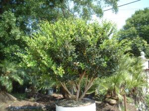 Ligustrum japonicum as a patio tree