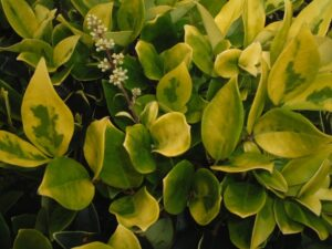 Ligustrum howardii Variegated showing bright yellow new growth foliage  Hedge and patio Trees in a North Florida landscape