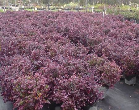 Loropetalum Plum delight nursery crop