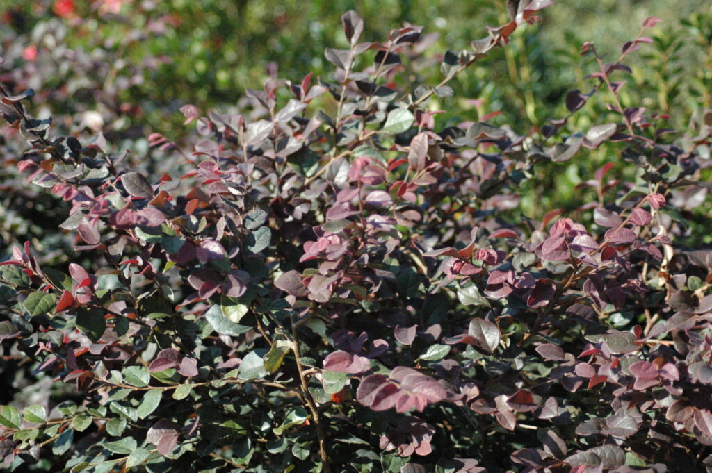 Loropetalum Ruby shrub in the Landscape St. Augustine Florida
