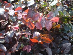 Loropetalum Ruby foliage with new growth