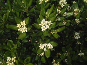 Green pittosporum with fragrant blooms