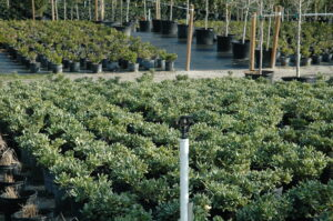 Nursery Crop Variegated Pittosporum 3 gallon pots