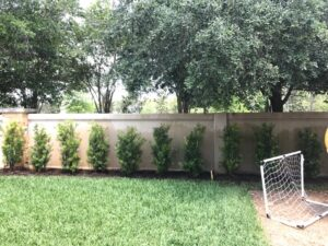 Podocarpus as a privacy fence