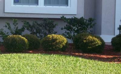 Ilex Schillings Dwarf Holly in the Jacksonville Florida Landscape