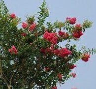 Cherry lake Tuskegee Crape Myrtle Standard tree form
