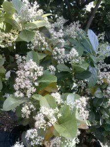 Viburnum Odoratissimum Sweet Viburnum in full bloom St. Augustine Florida