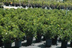 Sweet Viburnum nursery crop