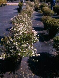Walters Viburnum in bloom , nursery 3 gallon crop St. Augustine Florida