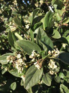 Viburnum suspensum in bloom up close of flowers and foliage