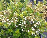 Dwarf Walters Viburnum Whorled class blooms open above the foliage