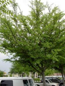 Winged Elm used as an Island bed shade tree in a commercial parking area Jacksonville Florida