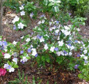 Shrub mature Yesterday today and tomorrow brunfelsia pauciflora Dwarf
