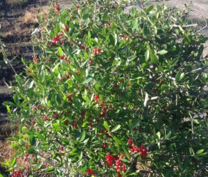 youpon Holly Upright with berries showing