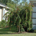 Weeping Bottlebrush Jacksonville Florida