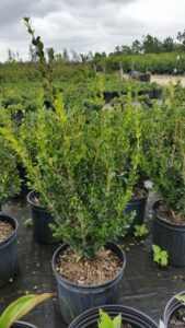 Wintergreen Boxwood 3 gallon nursery container St. Augustine Florida