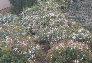 Indian hawthorne shrub mass planting in full bloom Jacksonville Florida Landscape