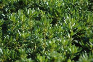 Green Pittosporum foliage up close