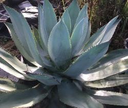 Agave celsii nova in the St. Augustine Florida Landscape