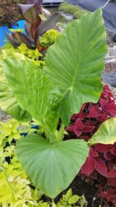 Alocasia calidora in a mixed container