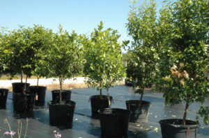 Citrus trees in nursery container