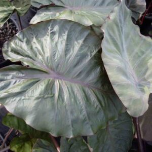 Colocasia Hilo bay foliage up close