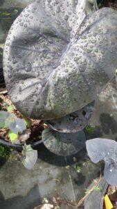 Colocasia Dragon Heart