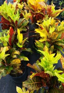 Croton Oakleaf in a nursery container