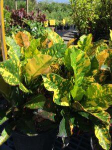 Croton magnifiscent