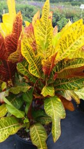 Croton Oakleaf Foliage up close