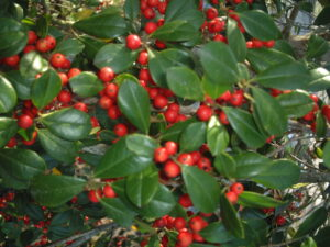 Holly East palatka foliage and berries up close