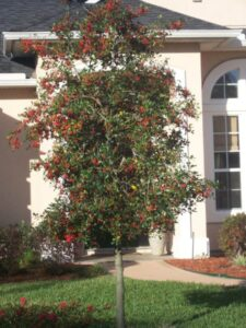 East palatka Holly in the Jacksonville Florida Landscape