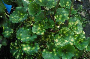 Farfugium Aureomaculata