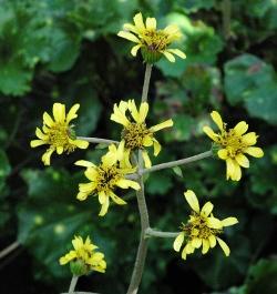 Farfugium Aureomaculata spotted leopard plant bloom stalk