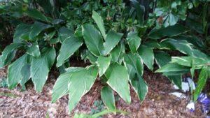 Ginger variegated curcuma petiolata in the garden