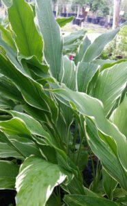 Variegated Curcuma periolata in the St. Augustine area landscape