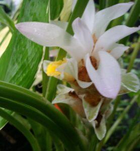Ginger curcuma petiolata bloom up close
