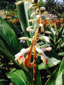 Ginger Pinstripe Alpinia formosiana bloom S & J Tree Farm and Nursery St. Augustine Florida