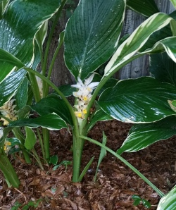 Vareigated hidden Ginger blooming in the rain