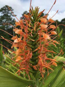 Ginger Hedychium Disney blooms