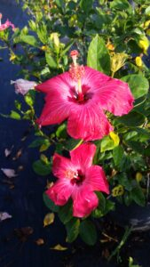 Hibiscus Painted Lady hot pink large single blooms with a deep red throat lined with a white halo