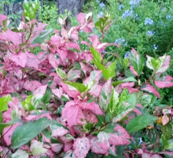 Hibiscus Fire and Ice / Red Hot shrub with new growth showing lots of light pink coloring