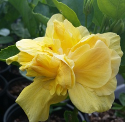 Hibiscus butterball soft yellow double blooms