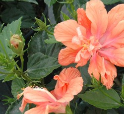 Hibiscus double peach jane cowl S & J Nursery st. Augustine Florida nursery pot