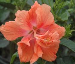 Hibiscus rosa senensis jane cowl double peach blooms up close