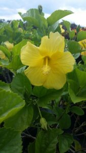 Hibiscus single yellow Ft. Meyers bloom and foliage