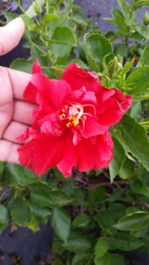 Hibiscus celia double red